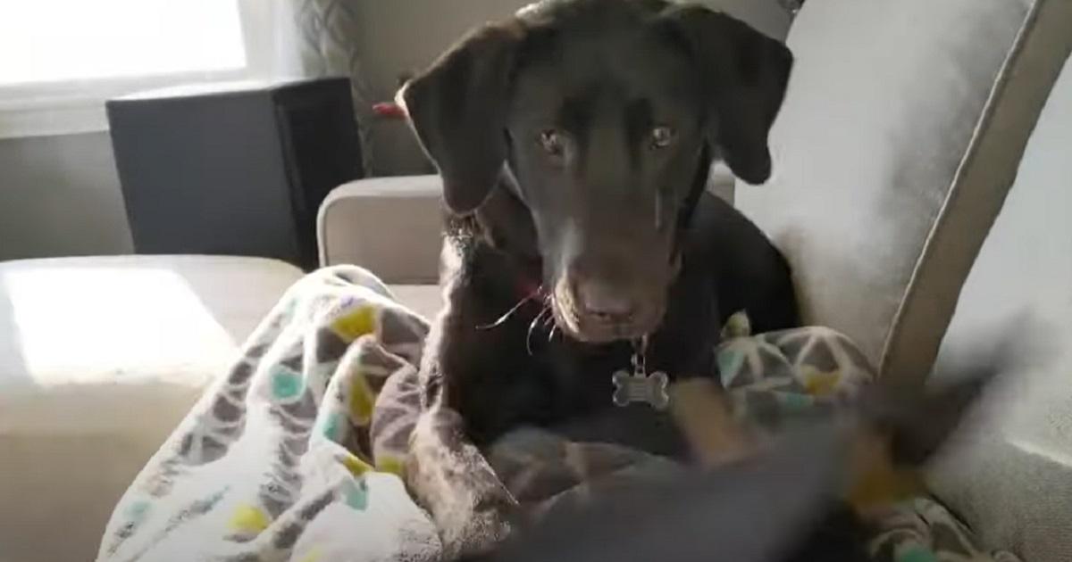Cucciolo di Labrador vuole che mamma smetta di lavorare, il simpatico video mostra l'assurdo metodo