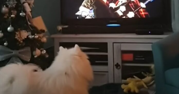 spitz cucciolo capodanno