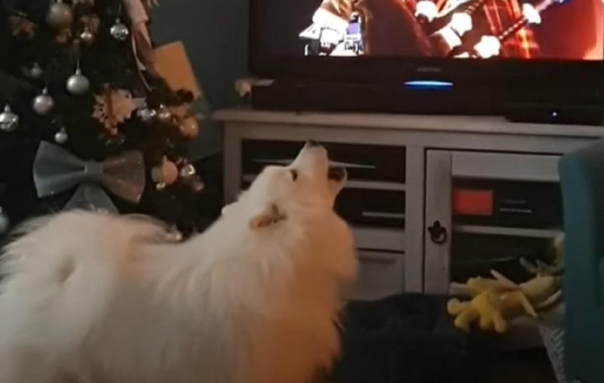 Cucciolo di Spitz Giapponese guarda in TV la festa di capodanno, la reazione in video è spettacolare