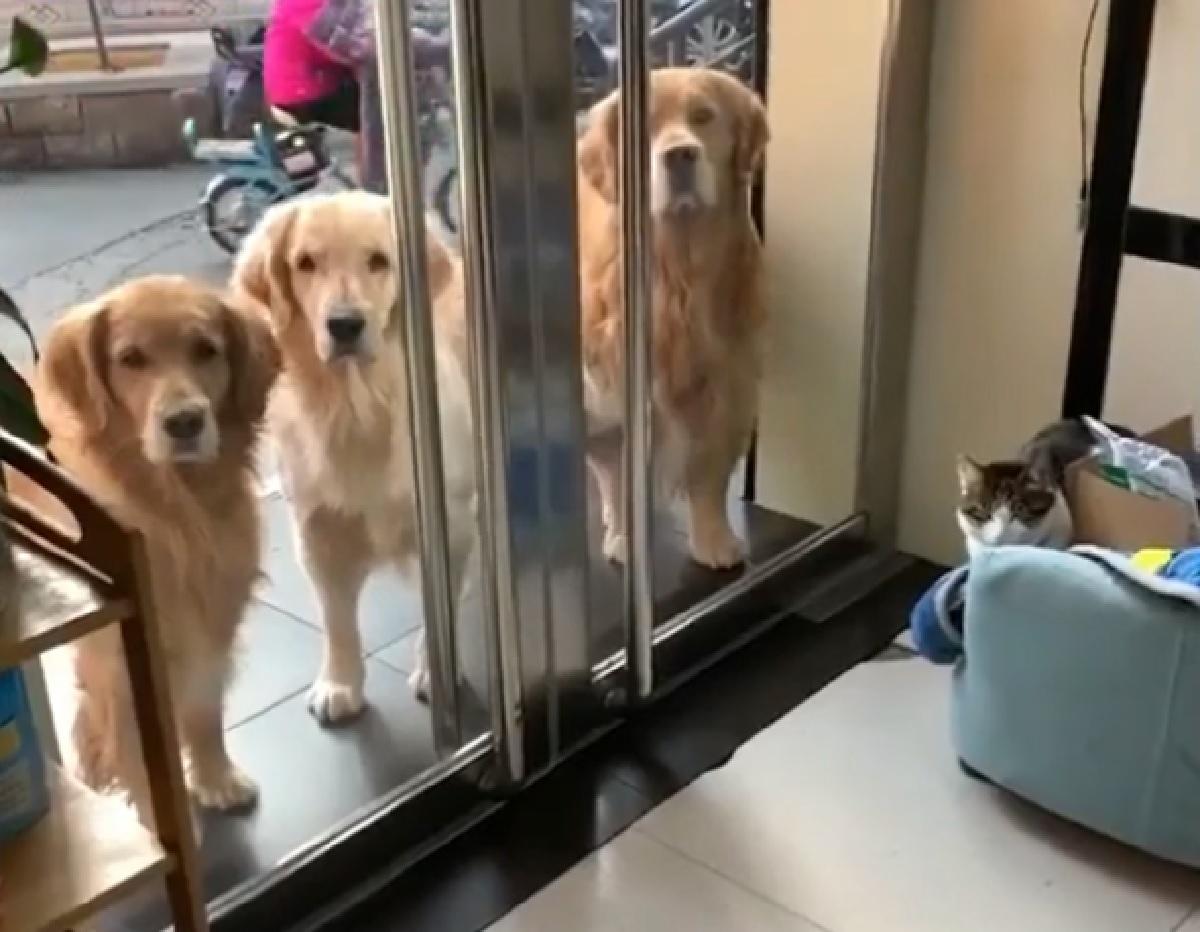 Cucciolo Golden Retriever dimostra tutto il suo ingegno in questo video