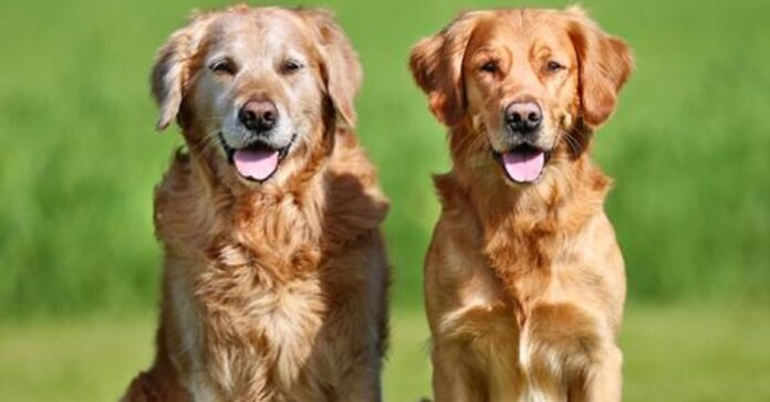 cucciolo golden retriever dimostra tutto ingegno video