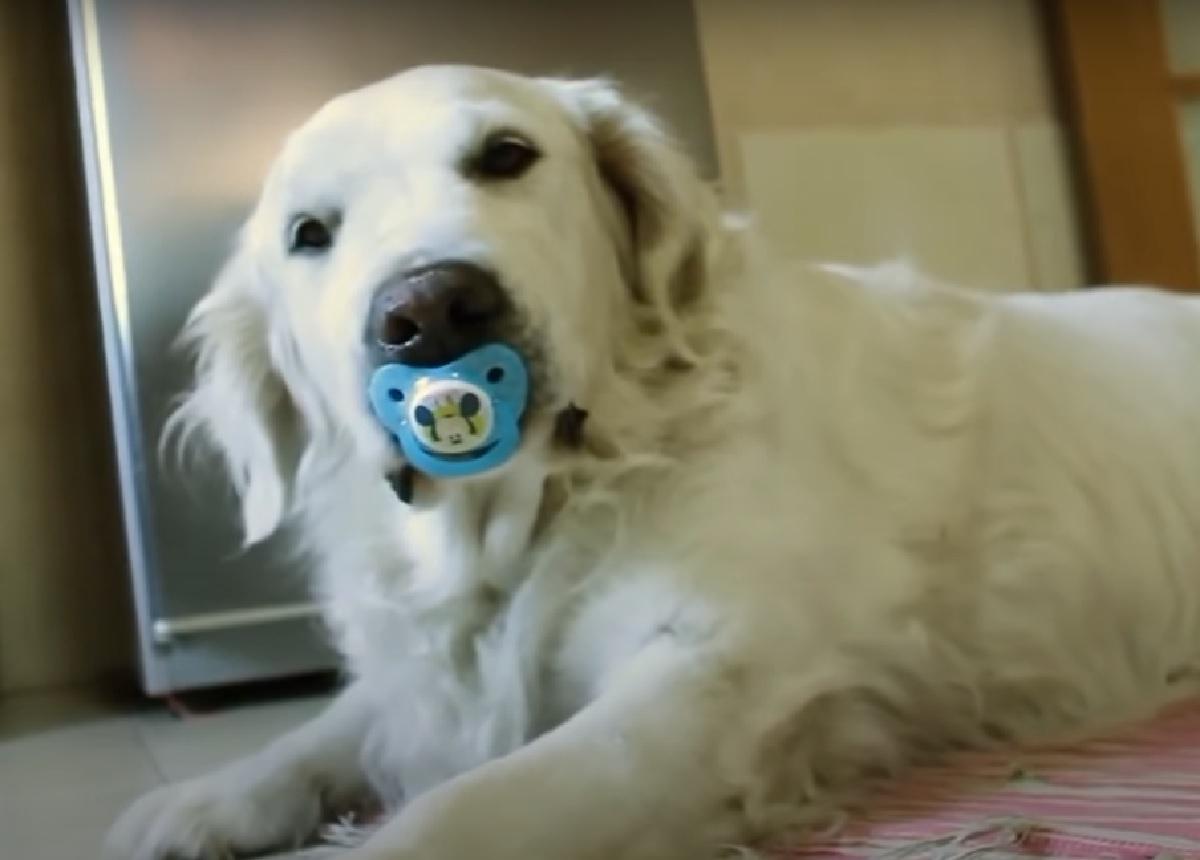 Cucciolo Golden Retriever non rinuncia al suo ciuccio, tutta la sua determinazione in video