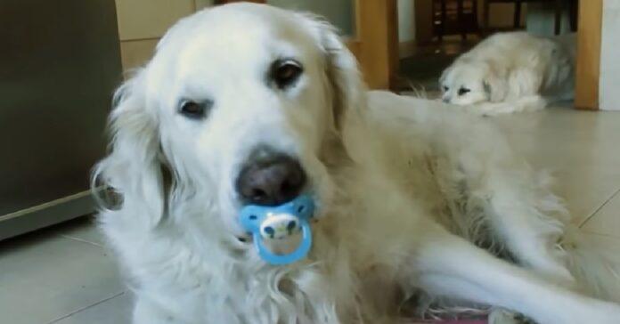cucciolo golden retriever non rinuncia suo ciuccio video