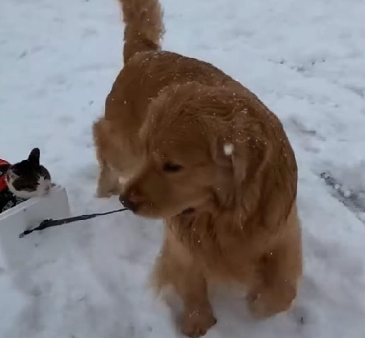 cucciolo golden amore fraterno gatto