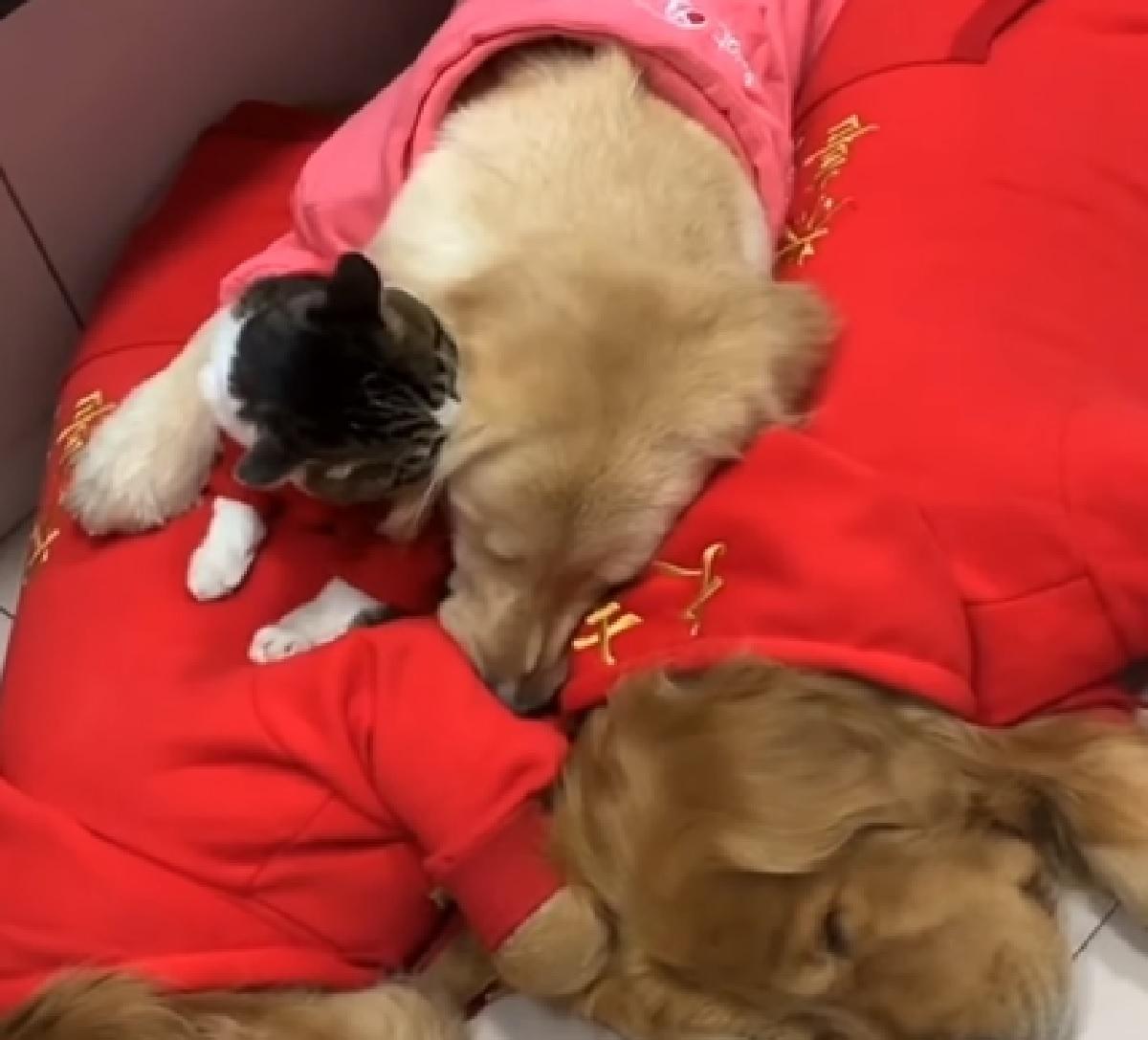 Cucciolo Golden Retriever traina l'amico felino con la slitta, il video vi scioglierà il cuore