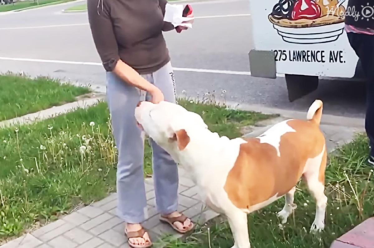 Cucciolo Pitbull corre dal gelataio appena arrivato, il video è di una bellezza unica