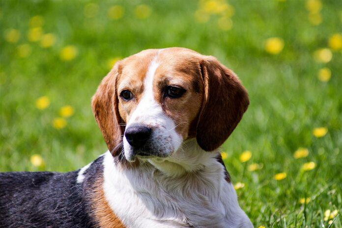 Beagle nel prato