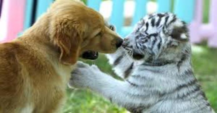 Cucciolo di Golden Retriever gioca con tigre bianca