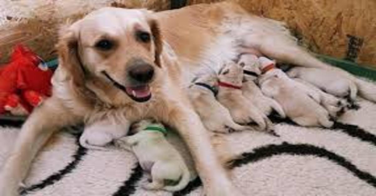 Forest: il cucciolo di Golden Retriever verde nato in Regno Unito (VIDEO)