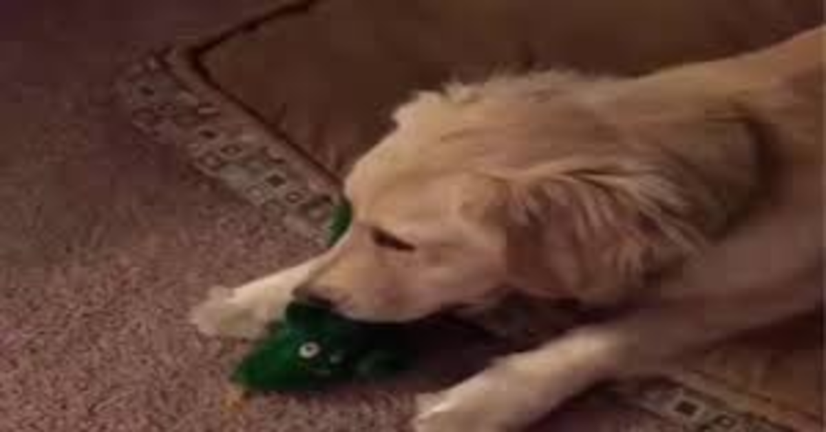 Il suo papà si maschera per farle uno scherzo, ma la cucciola di Golden Retriever Jolene lo riconosce (VIDEO)