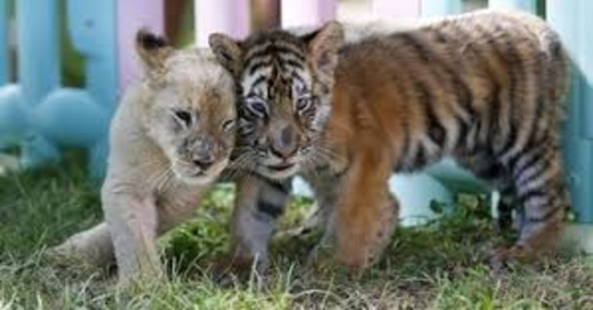L'insolita amicizia fra  tre cuccioli di Golden Retriever, un leoncino, un tigrotto e una piccola iena (VIDEO)