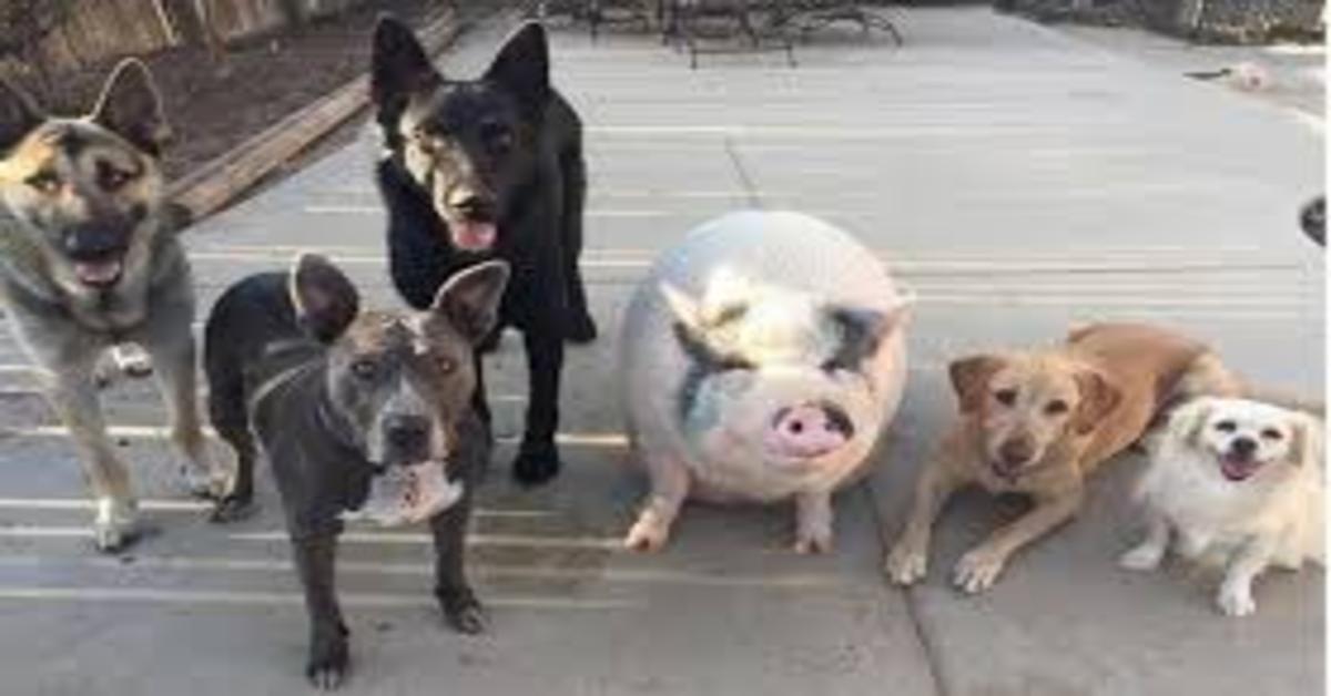 Chowder, il maiale che vive con dei cuccioli di cane, credendosi uno del branco (VIDEO)