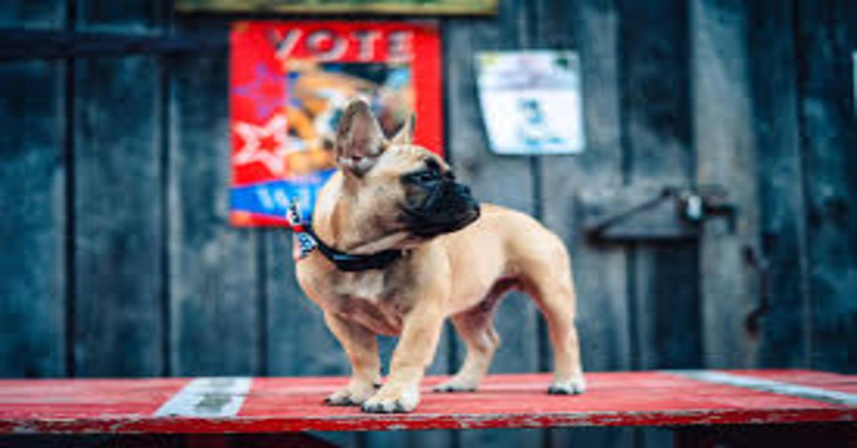 La storia del cucciolo di Bulldog Francese che è diventato sindaco di una piccola città degli Stati Uniti (VIDEO)