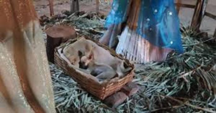 cagnolino addormentato nella culla del presepe