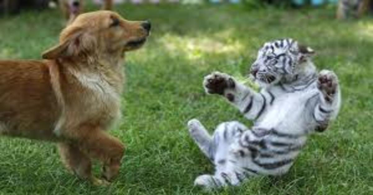 Cucciolo di Golden gioca con cucciolo di tigre