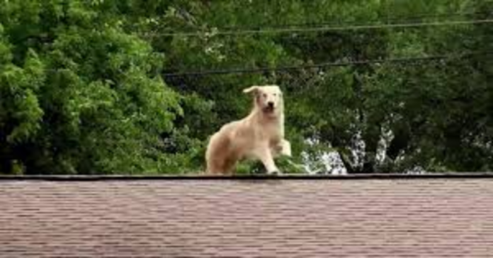 Golden Retriever Huck sul tetto