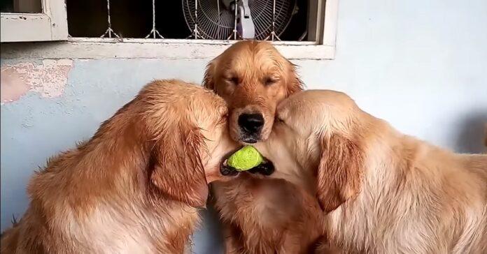 due cuccioli golden retriever si contendono una pallina tennis video