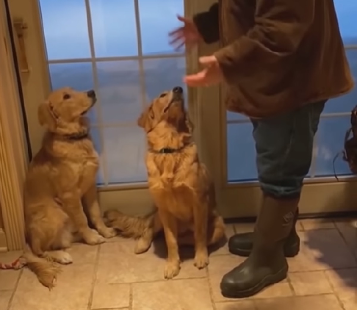 Due cuccioli Golden Retriever si tuffano nella neve, il sorprendente video conquista il web