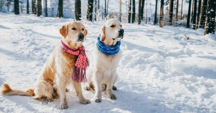 due cuccioli golden retriever si tuffano nella neve video