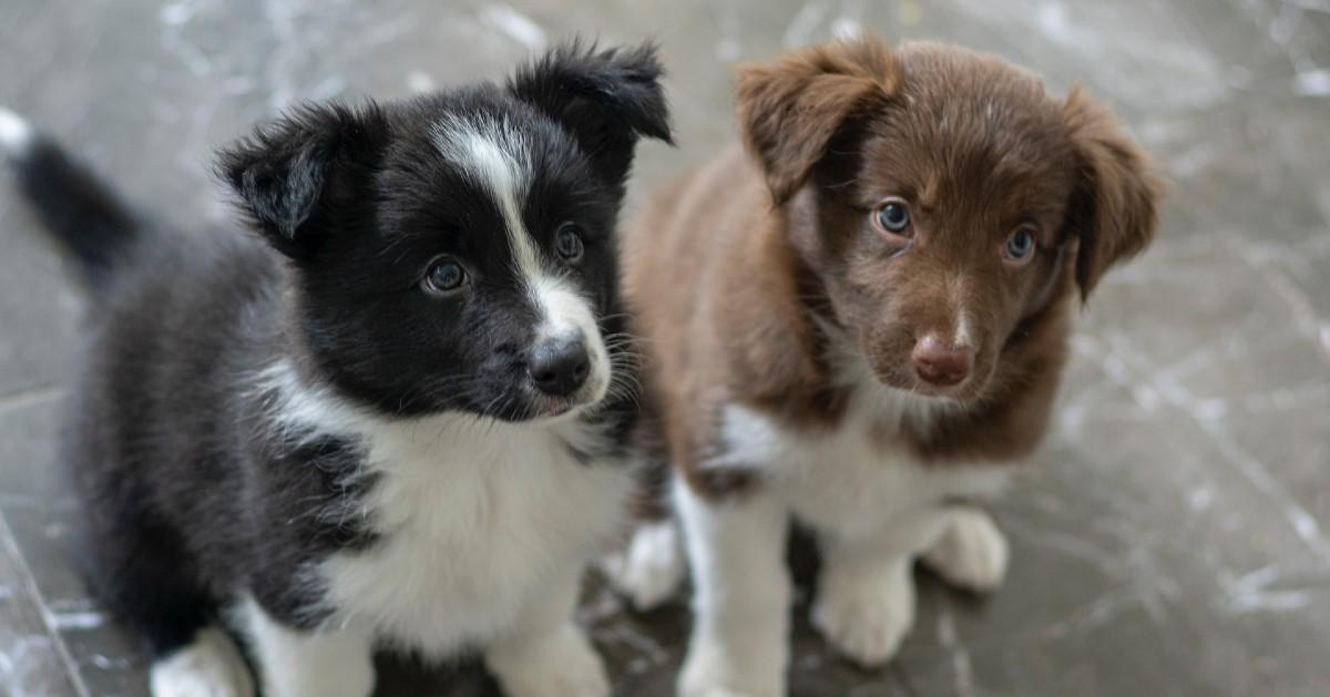 i cuccioli di cane sono gelosi