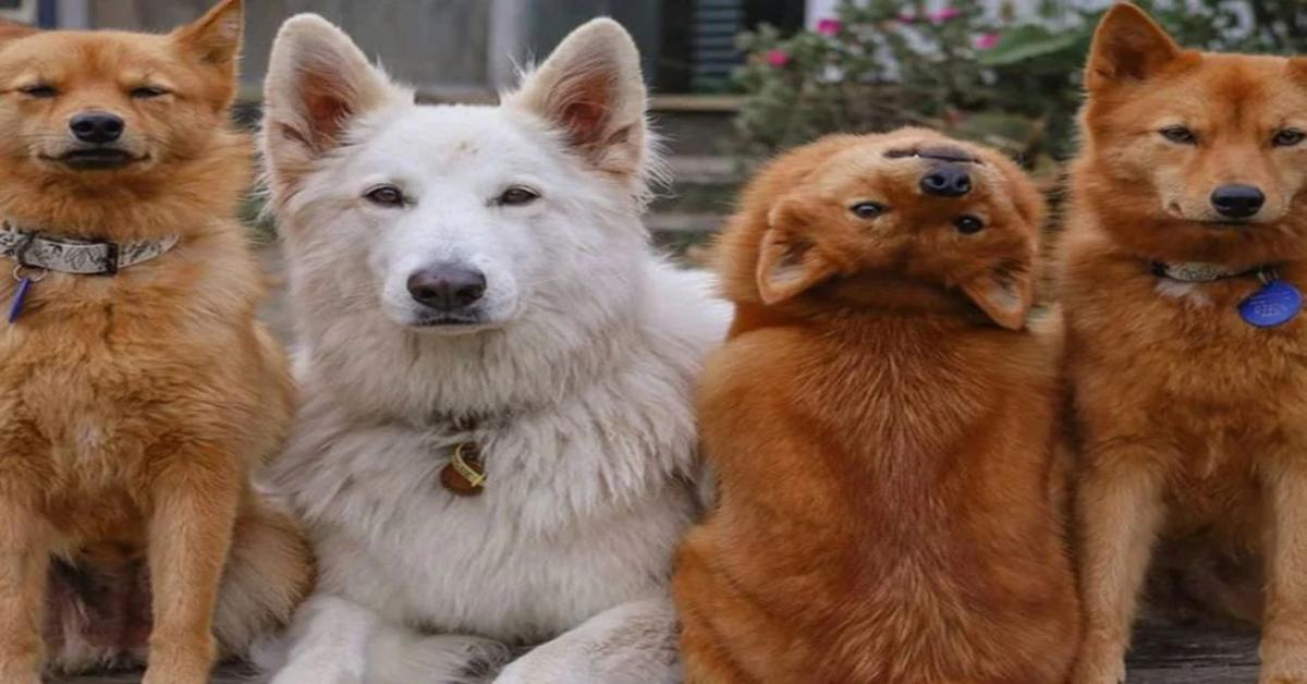 """Kiko: il cucciolo di Spitz Finlandese che terrorizza il web al girare la testa come la protagonista del film """"L'Esorcista"""" (VIDEO)"""
