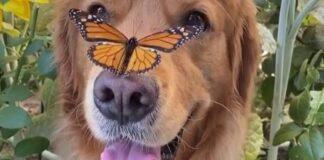 cucciolo di golden retriever con una farfalla sul naso