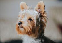 cuccioli di yorkshire terrier sono fragili