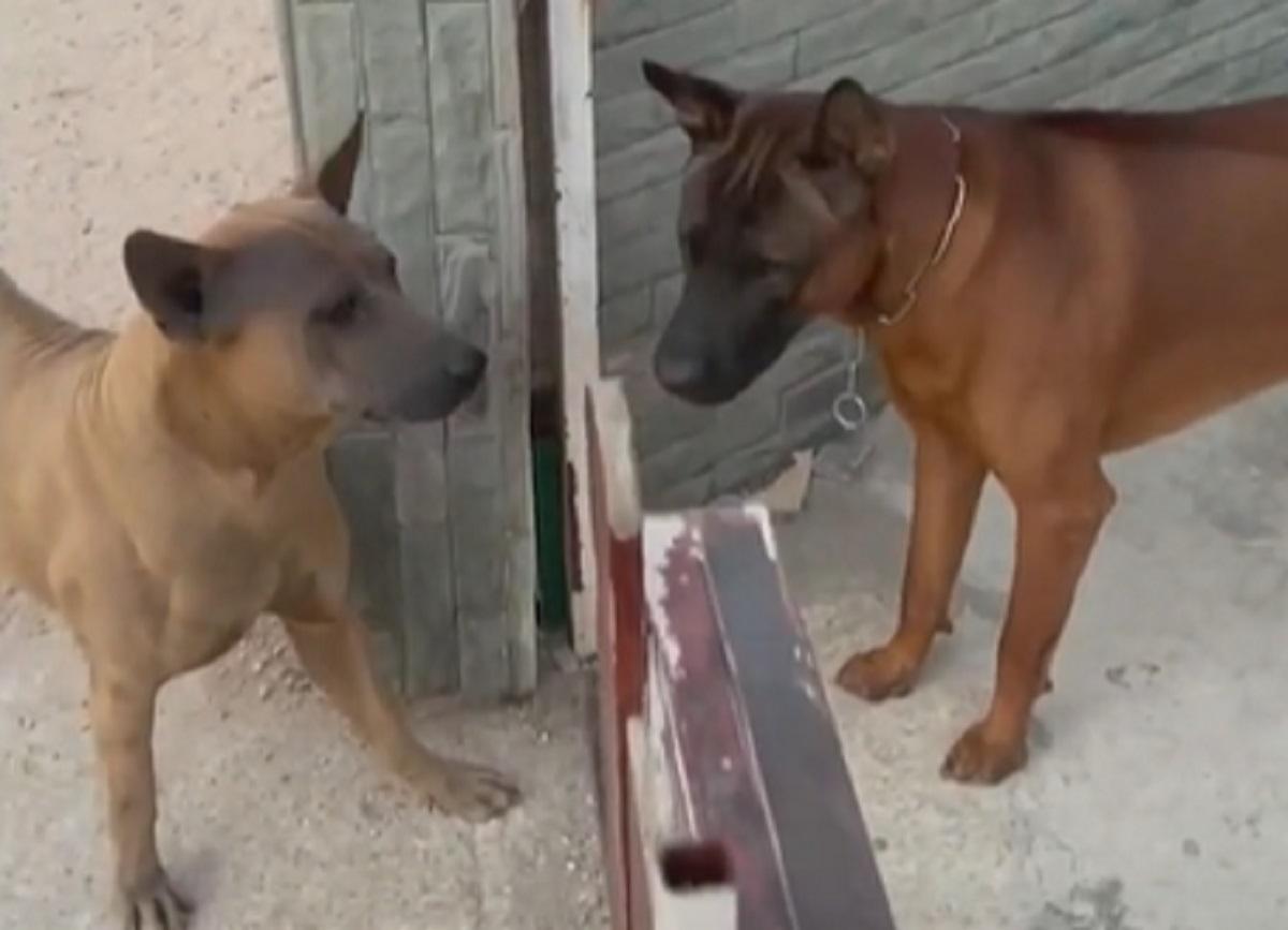 I cuccioli di cane abbaiano ferocemente l'uno contro l'altro, appena si apre il cancello nel video, però, succede l'imprevedibile