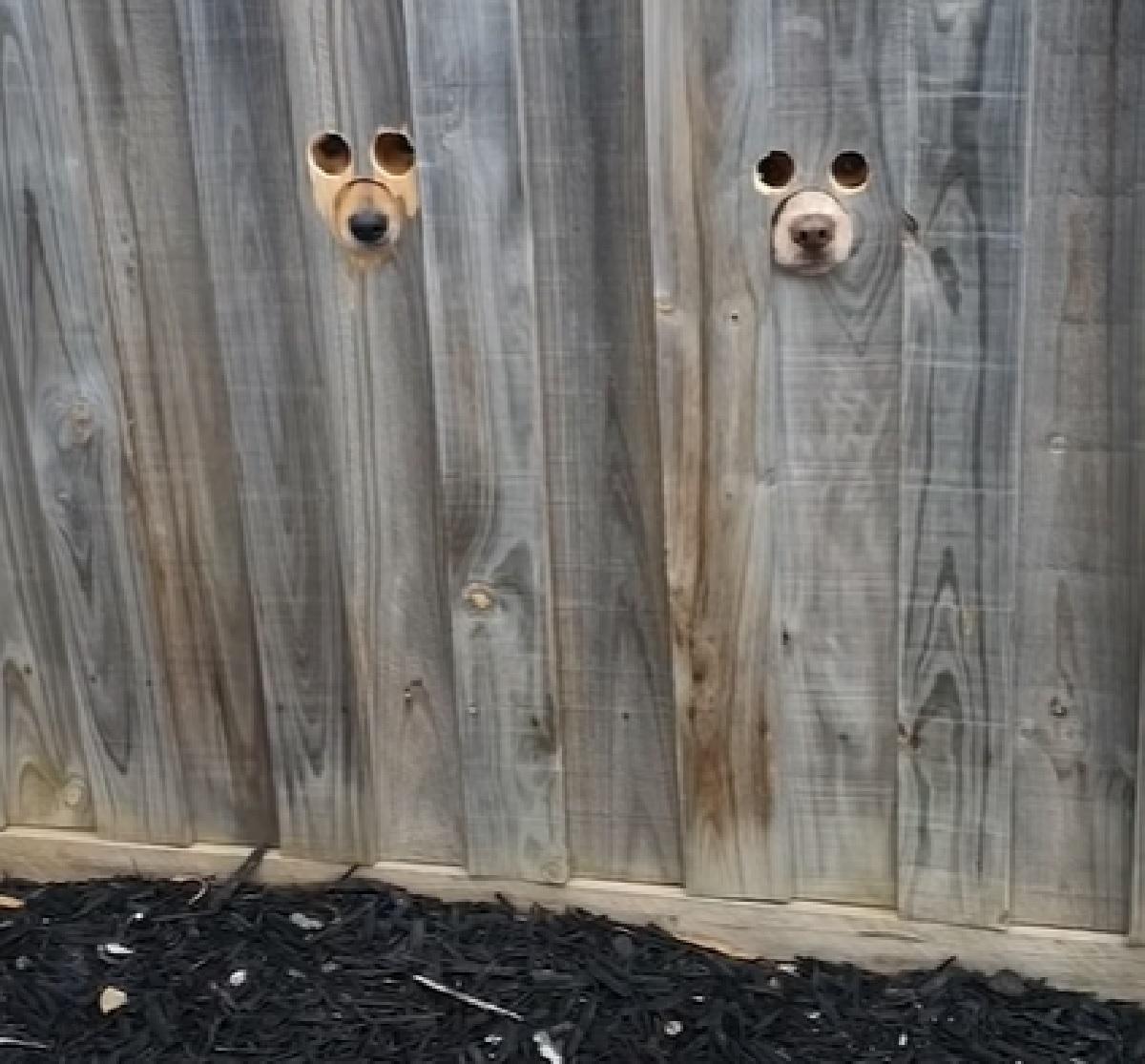 I cuccioli di cane si affacciano dai buchi della staccionata, il video è qualcosa di imperdibile