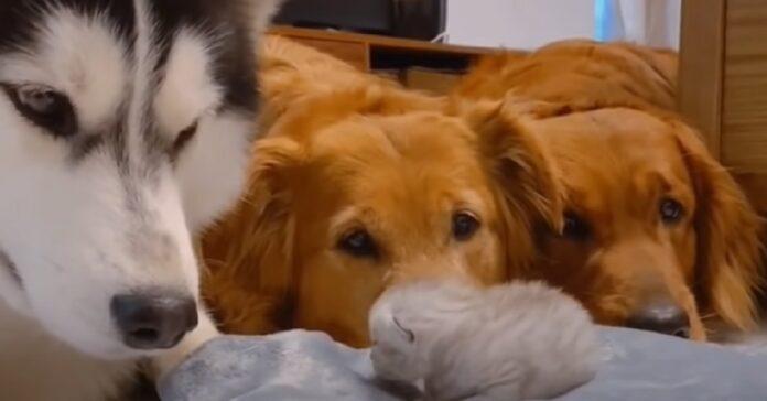cuccioli osservano un gattino