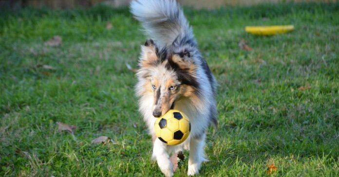 cane e pallina preferita
