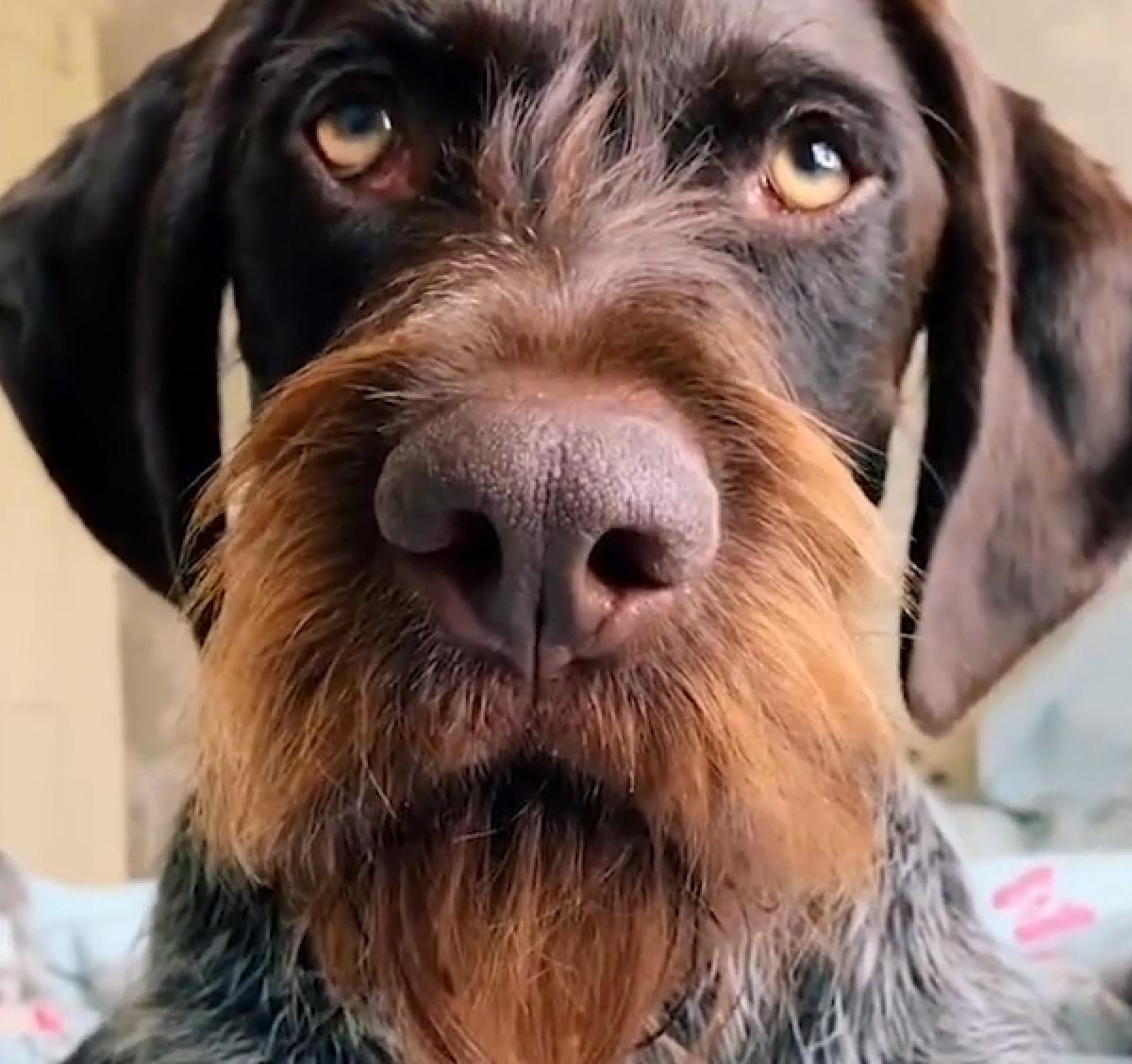 """Il cucciolo Bracco Tedesco ha una """"barba"""" fantastica, non si può fare altro che ammirarla in video"""