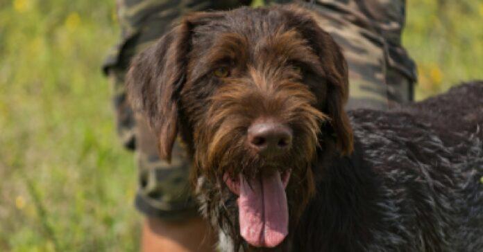 cucciolo bracco tedesco una barba video