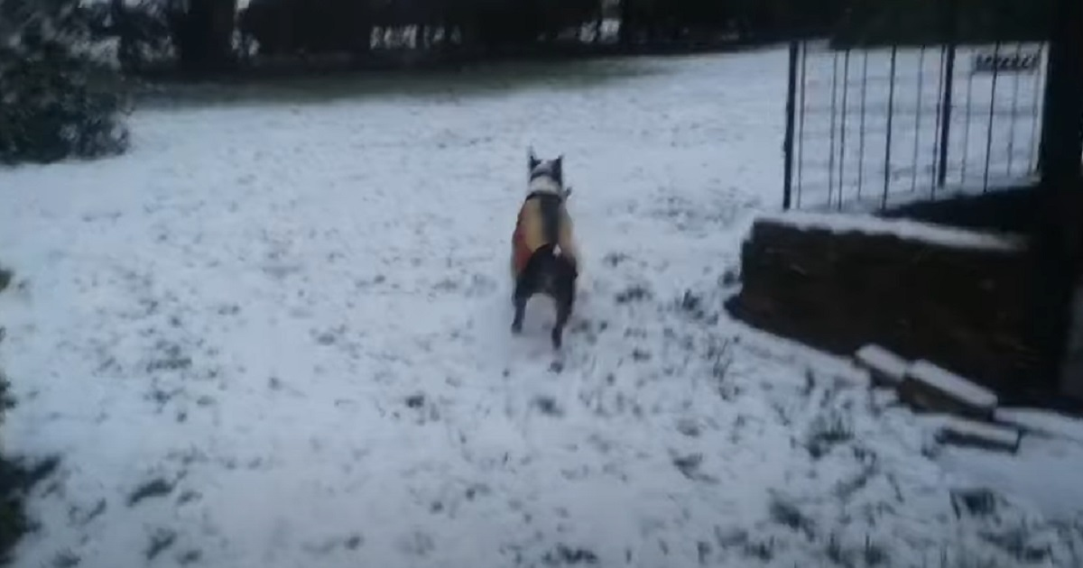 bull terrier corre felice