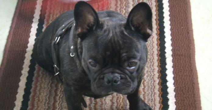 cucciolo bulldog bagagli