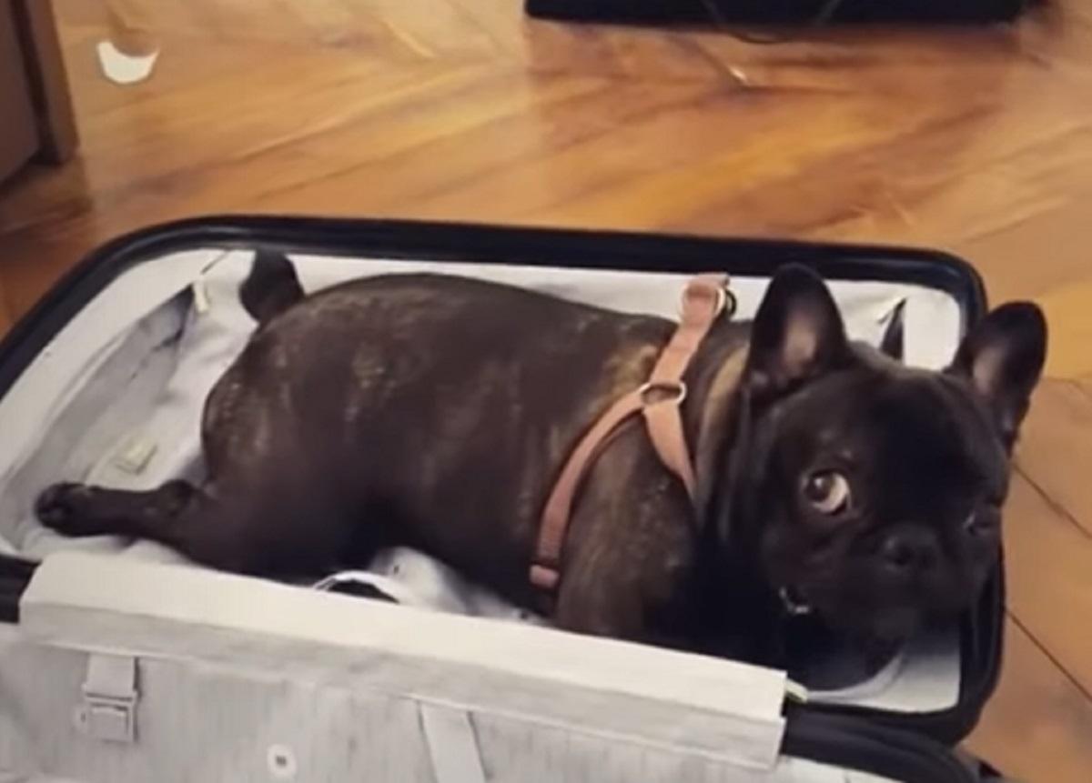 Il cucciolo Bulldog Francese impedisce alla mamma di fare i bagagli, nel video i suoi irresistibili dispetti