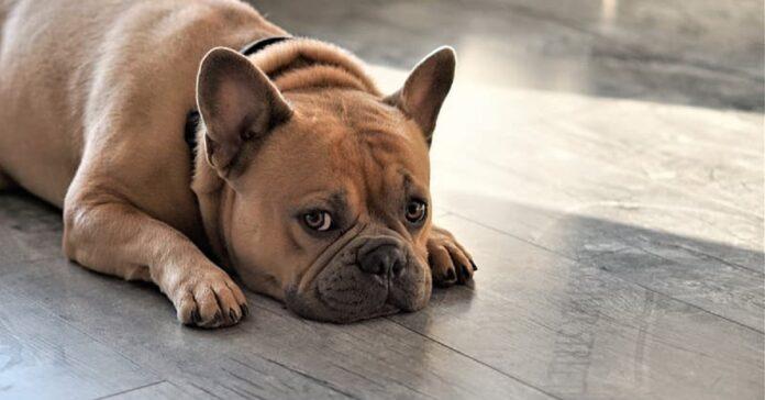 bulldog rinfrescarsi trucco