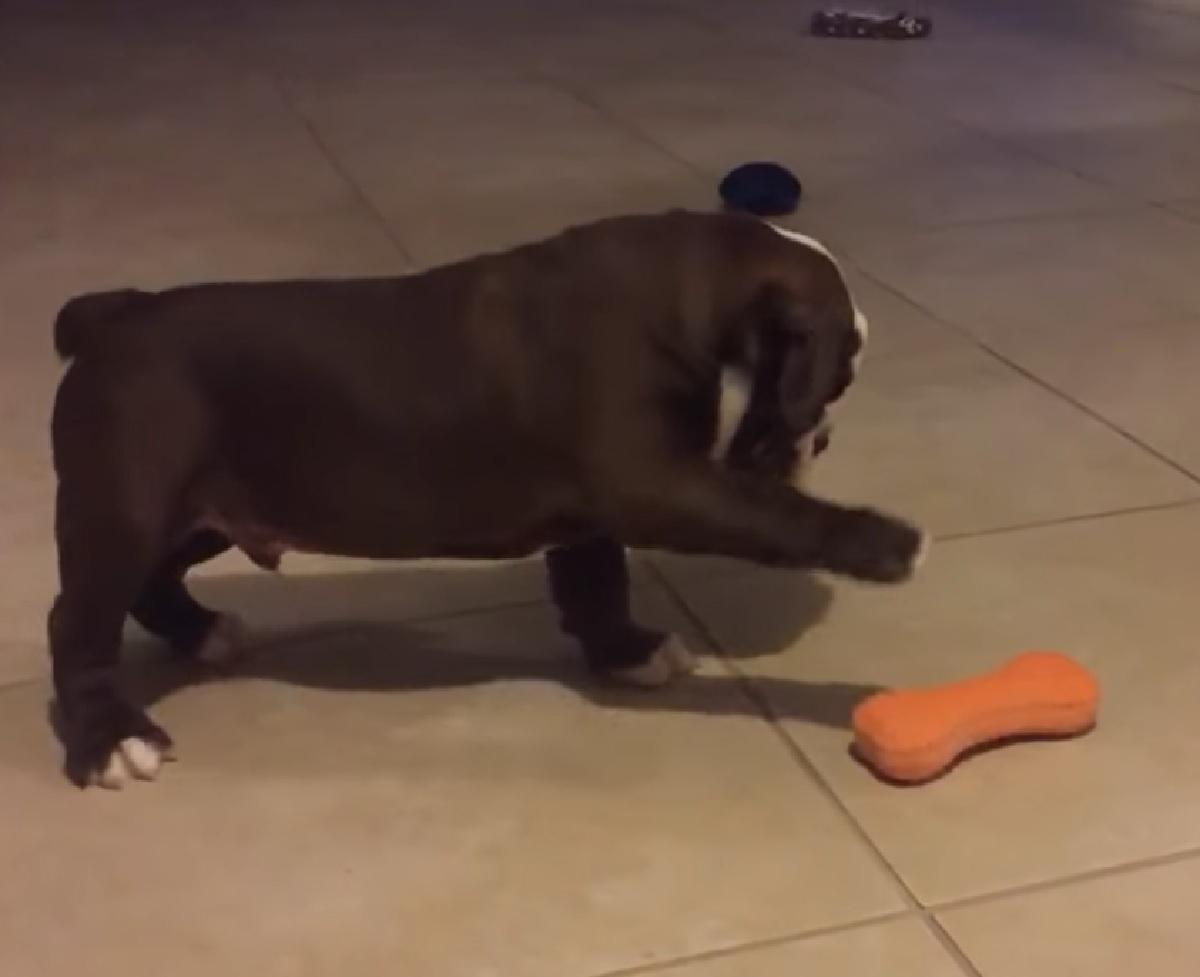 cucciolo bulldog inglese curiosità