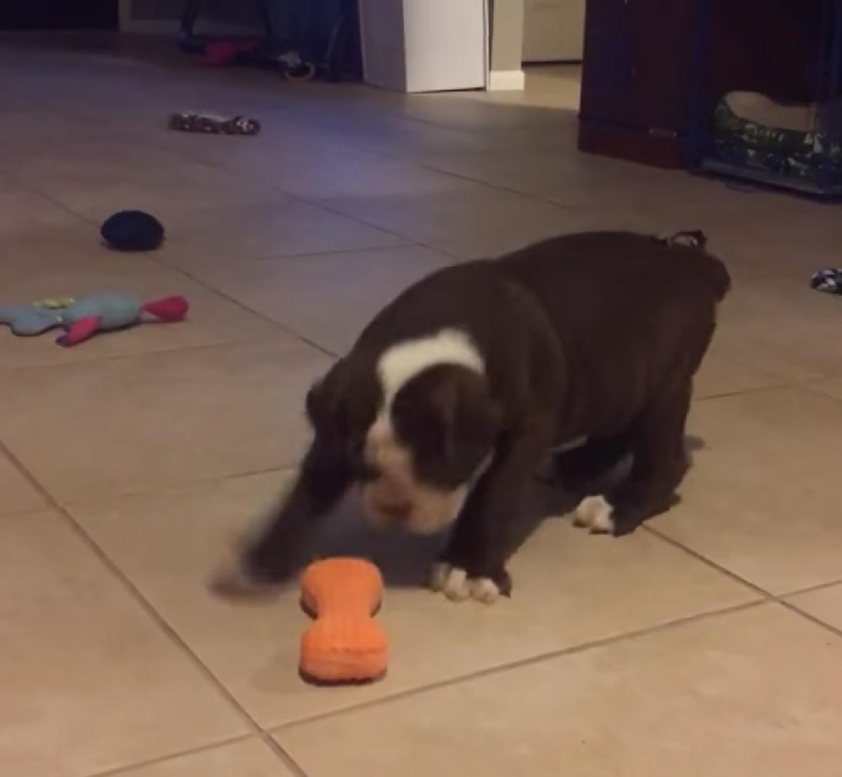 cucciolo bulldog inglese gioca osso