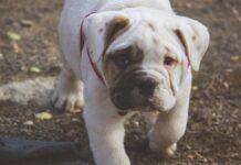 cucciolo bulldog inglese nuovo giocattolo video