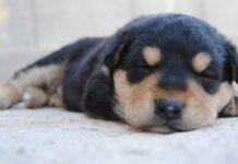 cucciolo cane dorme in piedi video qualcosa