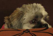 cucciolo cane ascolta parola veterinario video