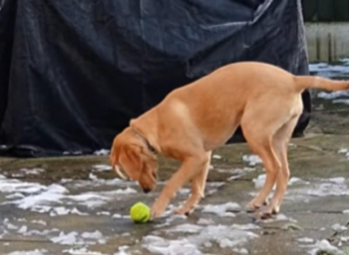 Il cucciolo di cane non riesce a prendere la pallina, capiamo il perché solo guardando il buffo video