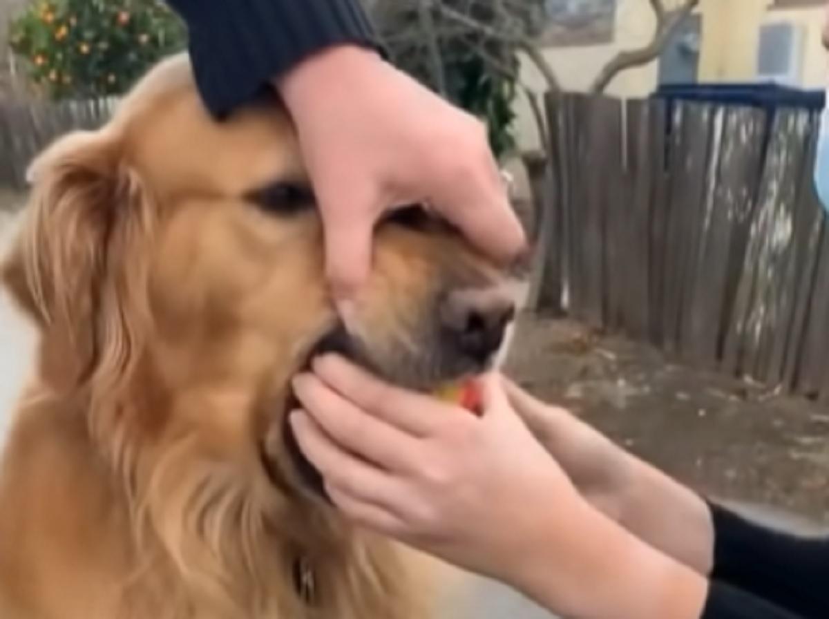 Il cucciolo di Golden Retriever non vuole lasciare la mela rubata, la buffa scenata che fa in video è tutta da vedere