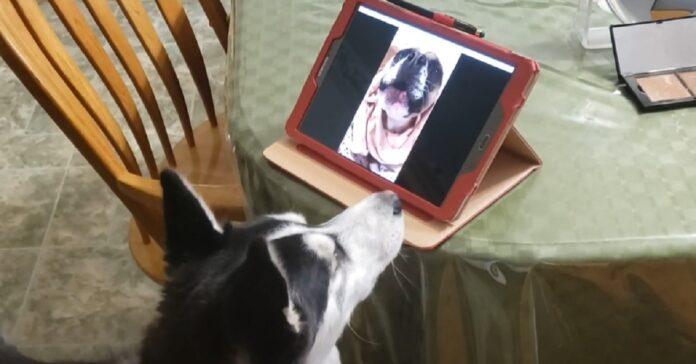 videochiamata husky amica
