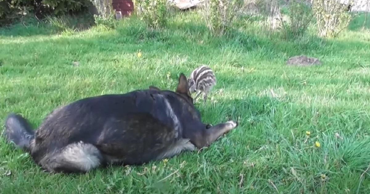 Il cucciolo di pastore tedesco ha una speciale amicizia con un piccolo emù, il video vi conquisterà