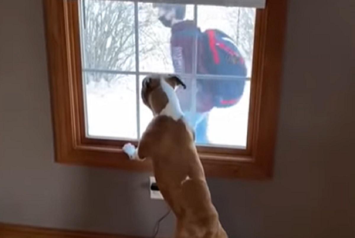 finestra triste pitbull