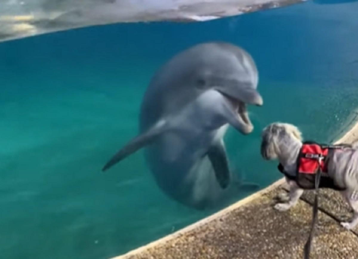 Il cucciolo di Shih Tzu visita lo zoo e fa amicizia con un delfino, il tenero video vi farà sorridere