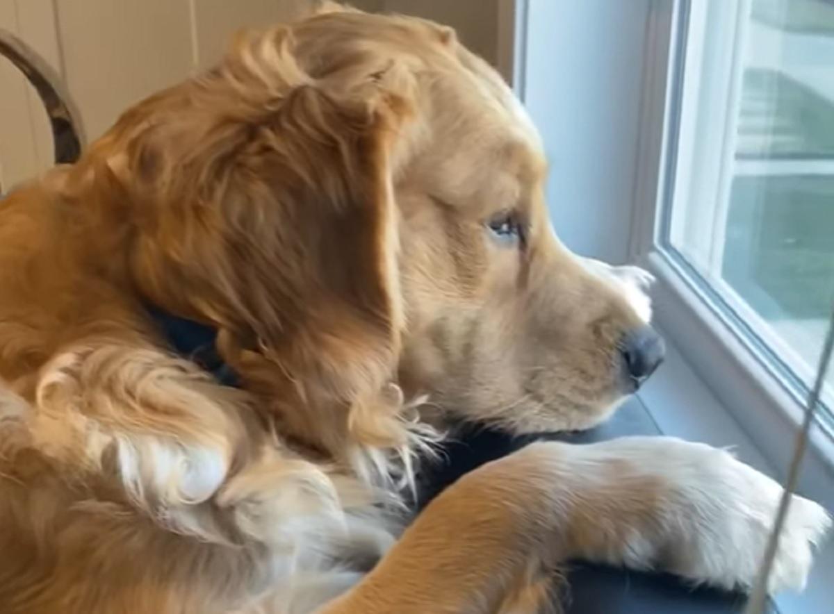 cane guarda finestra
