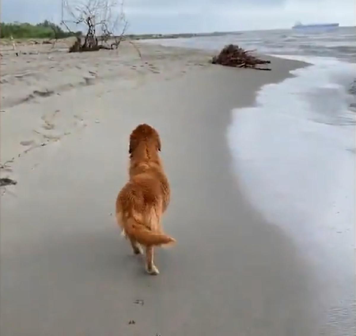 Il simpaticissimo cucciolo Golden Retriever finge di sfilare come un modello, il video è super